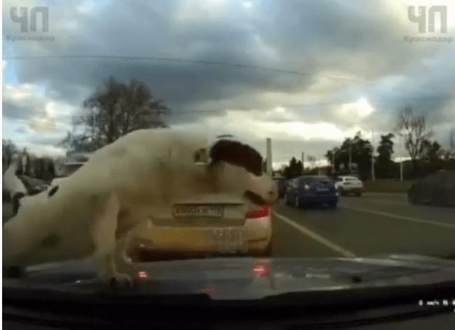 Сбитая такси собака чудом осталась жива в Краснодаре