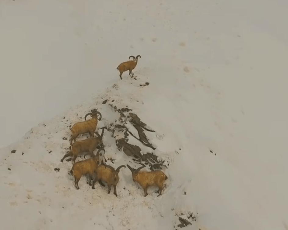 Голодное стадо диких туров попало на видео в горах Кабардино – Балкарии