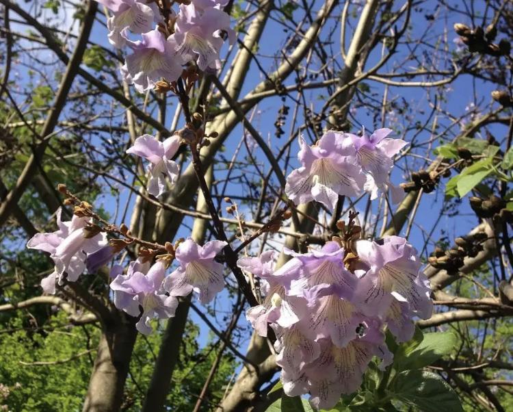 Необыкновенной красоты дерево поселится в Кисловодске
